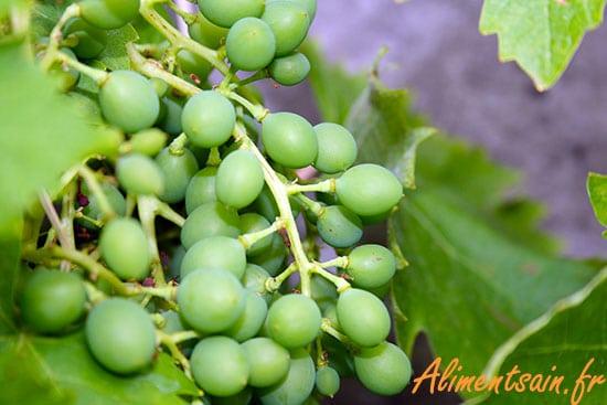 Grappe de raisin sur la vigne