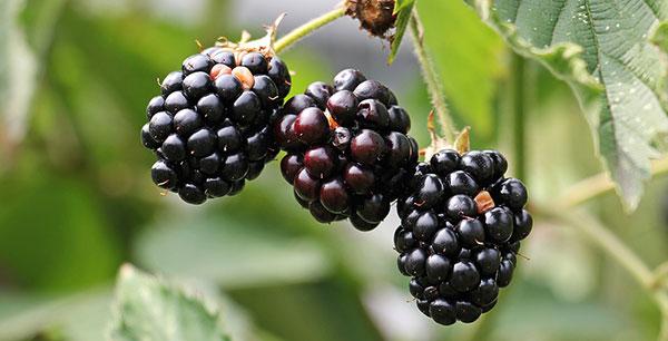 Les atouts santé des fruits noirs