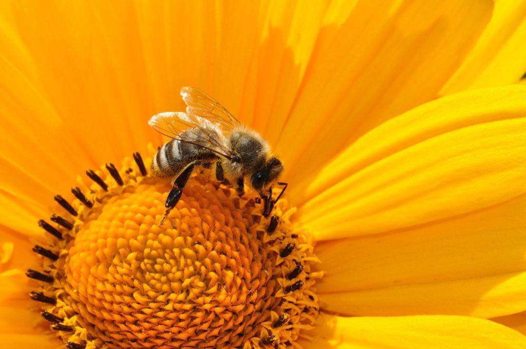 Récolte du pollen par les abeilles